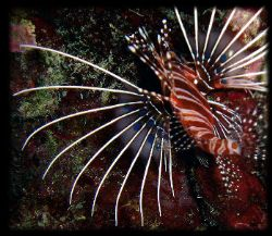 Lionfish Isle of Rota CNMI by Martin Dalsaso 